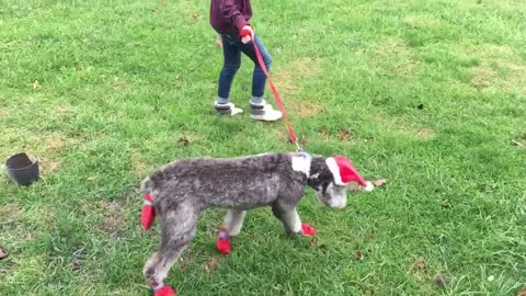 a girl walks a dog dressed in a Christmas outfit - barbie walking puppy