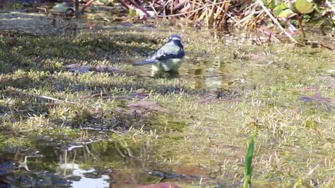 Watch and enjoy how the goldfinch cleans itself in the small pool on the edge of the forest
