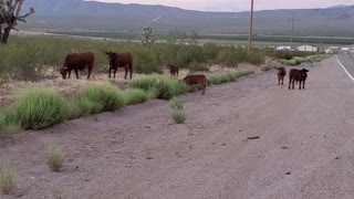 Cows cross the road