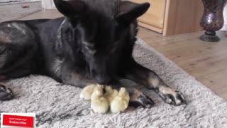 German Shepherd loves his little ducklings