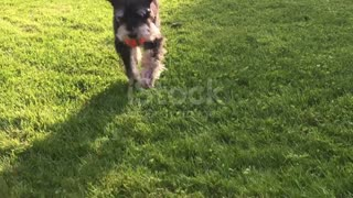 Little dog,running,playing with ball