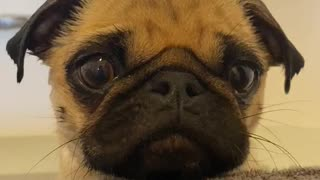 Pug puppy appears to be eating invisible snacks