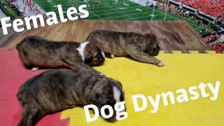 Dog Dynasty Puppy Female