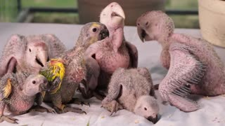 Adorable Baby Birds Waiting Mom For Food
