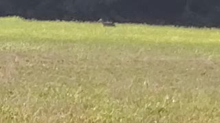 Coyote in broad daylight