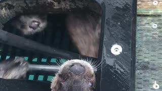 Otters Playing Peek-A-Boo