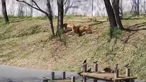watch 2 lions fighting for a lioness