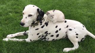 Beautiful Dalmatian hangs out with his sweet kitten