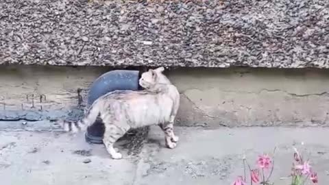 An amazing cat from Russia who only understands German