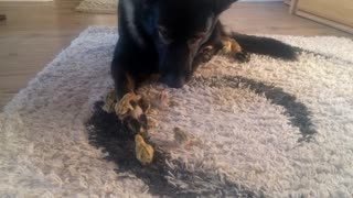 Quail chicks imprint on gentle German Shepherd guardian