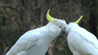 white birds caressing each other on zoom