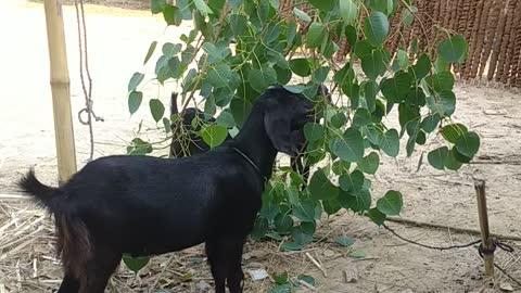 Goat eat green leaf village video