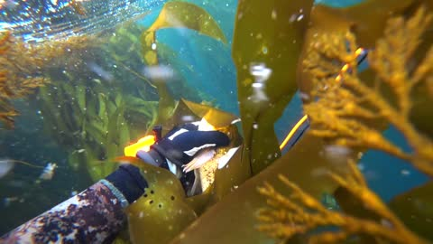 Spearfishing in Monterey California - Central Cal - Monterey County - Rockfish