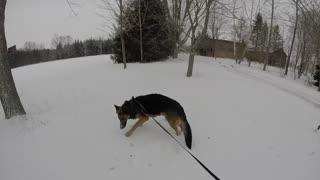 Happy German Shepherd Loves Playing In The Snow