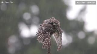 Coruja adora tomar banho de chuva