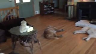 Dogs Exhausted After Easter Weekend 'Pawty'
