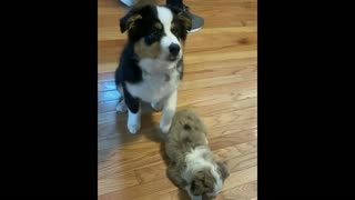 This Aussie puppy knows exactly who his best friend is