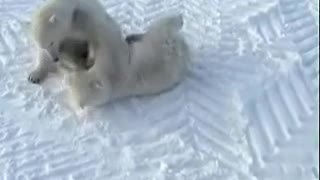 cutest polar bear fighting