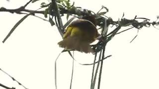 Amazing bird sews your home