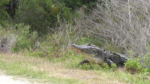 Injured American alligator crossing a path