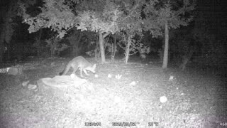 When a Fox Eats Apples in Your Backyard!