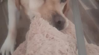 Sweet Dog Won't Go On Walk Without His Teddy