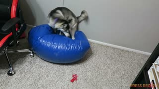 Extremely hyper Husky tries to relax