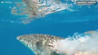 Mergulhador dá tapa em tubarão!