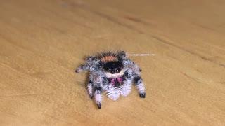 Friendly Soroa Jumping Spider Wanders across Wood