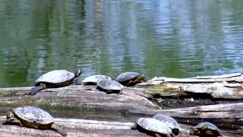 Group Of Water Turtles Gather On Tree Near Water