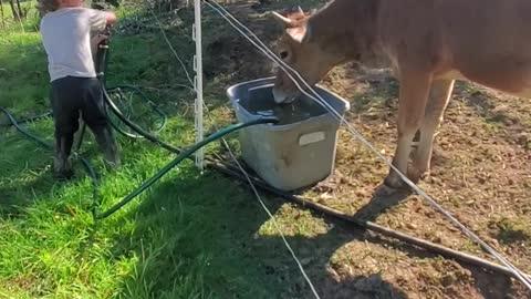 Taming a heifer