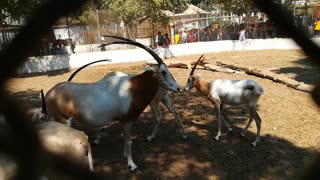 Happy Family Of African Horned Oryx