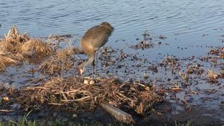 Sandhill crane in a nest