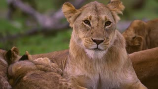 Lioness Grooming