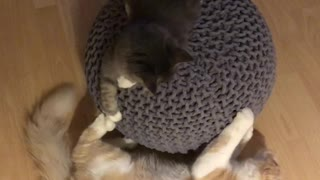 Funny Cats spinning and fighting