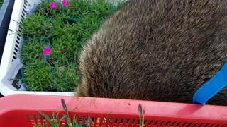 flower-loving raccoon