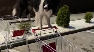 Clever Dog Balances Between Two Shopping Carts
