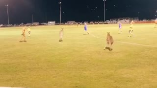 Kangaroos Just Want to Play Rugby