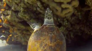 Giant Green Sea Turtles in the Red Sea, eilat israel