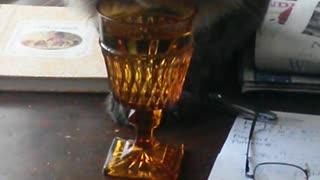 Manx cat drinks water from wine glass