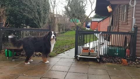 Huge dog barking at balloon
