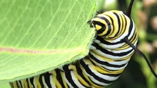 Caterpillar Munches on Milkweed