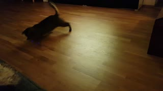 Cat goes nuts for laser pointer