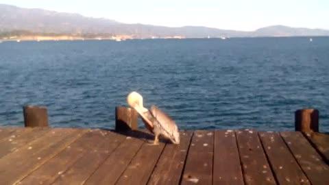 PELICAN Bird Got an Itch!