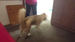 Husky refuses to take shower