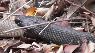 Snake on Snake Snacking