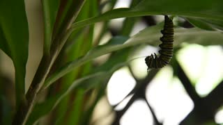 Time Lapse of Monarch caterpillar going into cocoon