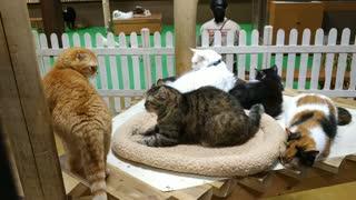神戶動物王國_KoBe Animal Kingdom_A cat is watching a cat in motion一隻貓看著運動中的貓