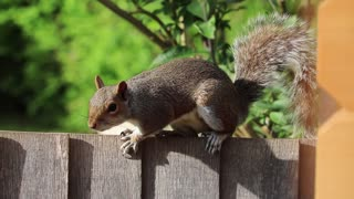 Speedy Squirrel Climbs fence to find food