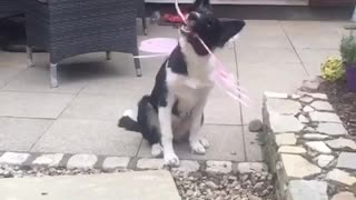 Dog chews on pink wand